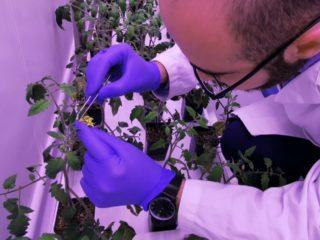 FertiGlobal's Plant Biotechnologist Haytham is conducting a precision screening on tomato plants